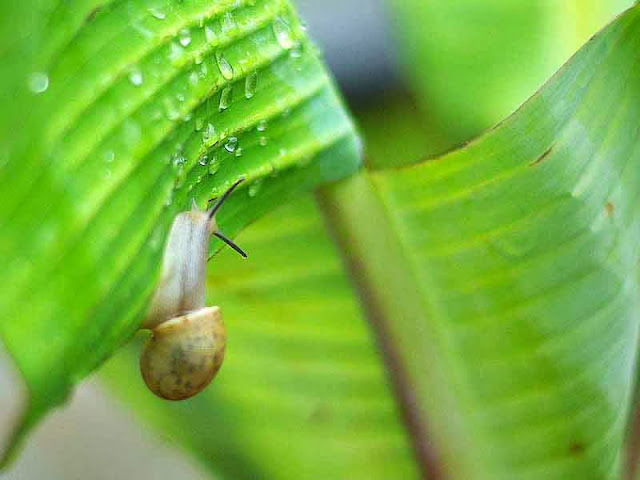 snail on banana leaf