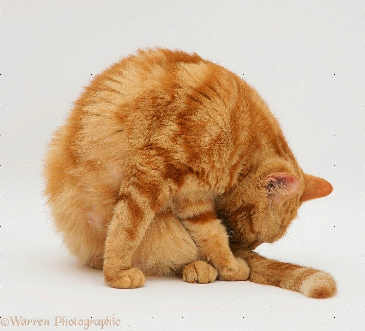 Hasil gambar untuk tubuh kucing yang fleksibel