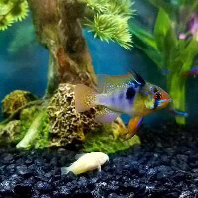 Peaceful community fish aquarium with German blue ram, neon tetras, and albino corydoras