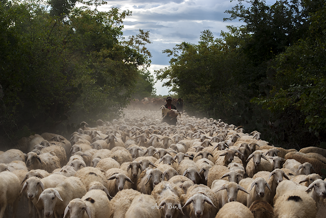 Thousand of sheeps going home