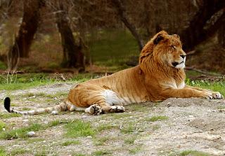 cruzamento de leoa entre tigre