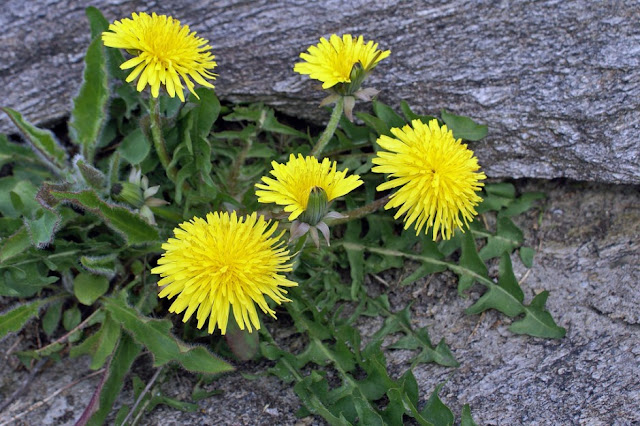 Canadian Scientists Are Using This Roadside Weed To Kill Cancer Cells in 48 Hours
