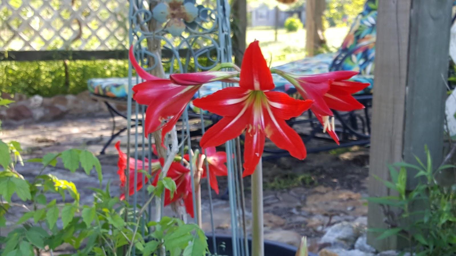 Alasandras place friday flowers friday flowers blooming in april ocean springs ms amaryllis mightylinksfo