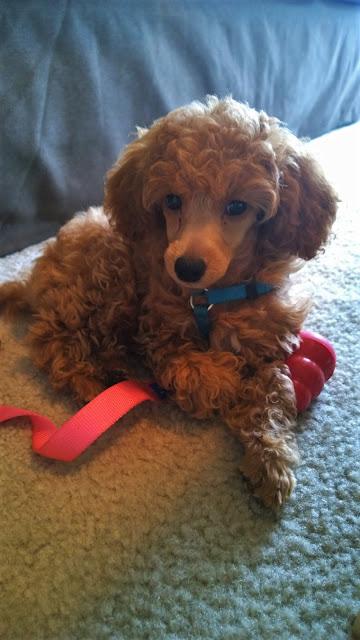 Miniature Poodle Puppy