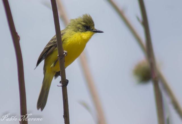 "alt=""Pseudocoloperyx acutipennis,doradito olivaceo,aves de Mendoza,doradito"""