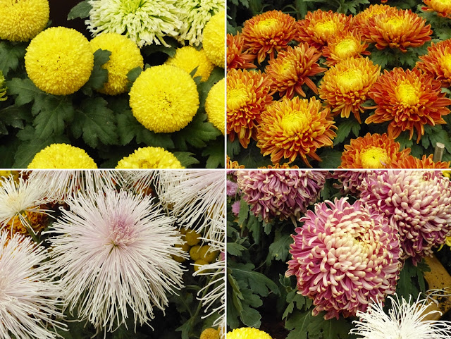 Varieties of chrysanthemums