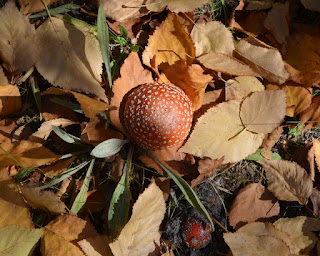 Above view of two toadstools on a bed of fallen leaves.The largest, central toadstool top is brown with white dots. The dots appear to be arranged in concentric circles. At the bottom of the photo a smaller, reddish brown toadstool is pushing its way through the earth.