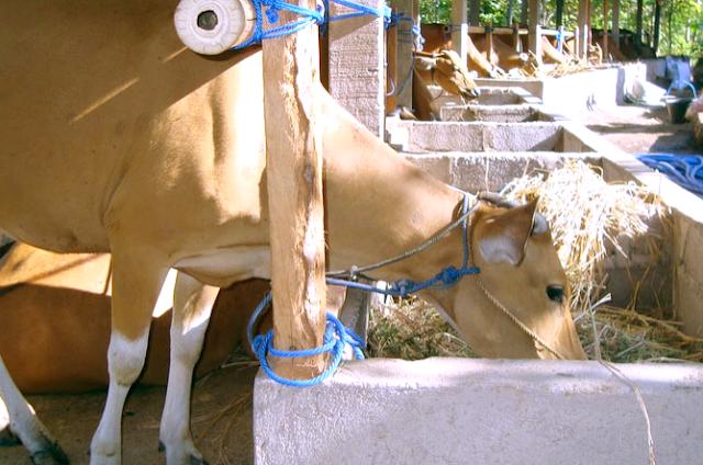 usaha penggemukan sapi
