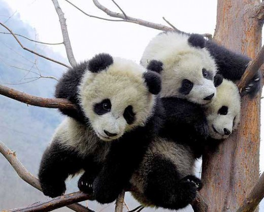 Cute Baby Panda Pictures - Funny Photos | Funny mages Gallery