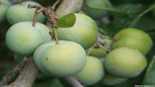 Greengage fruit images wallpaper