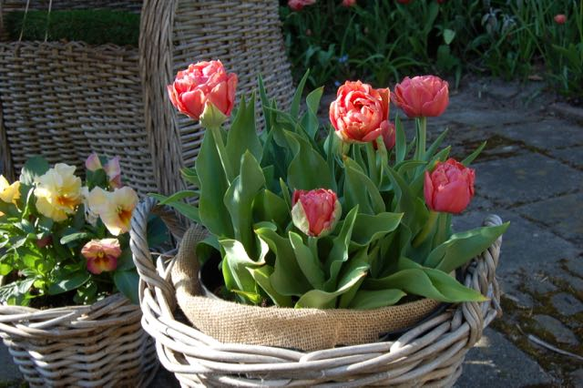 tulipa Copper Image