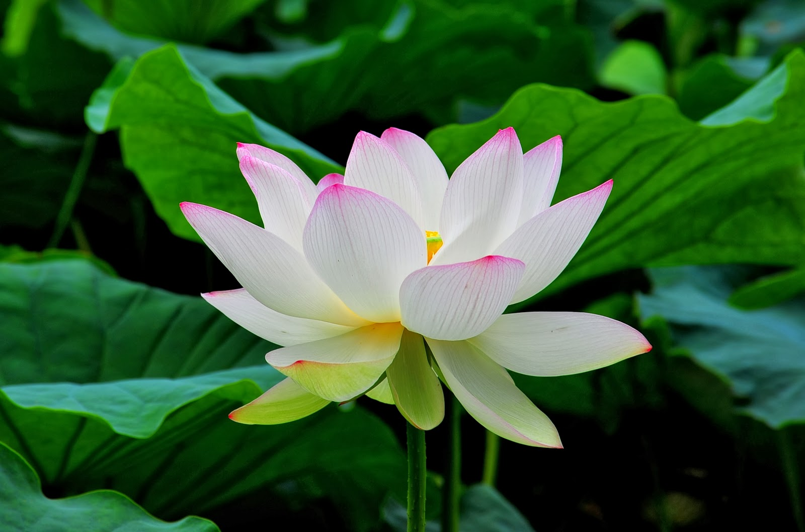 Lotus – the national flower of India
