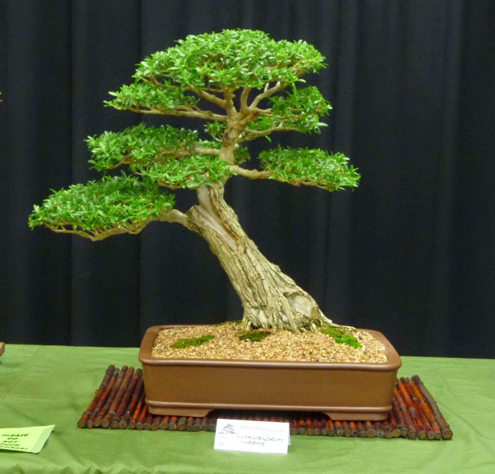 Bonsai Amp Pottery Post 150 Australian Native Bonsai Exhibition