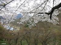 flowering plums, Japan