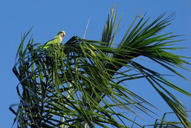 Quaker parrot in a palm tree