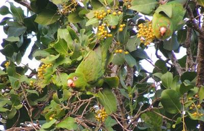 Aratinga cubana: Aratinga Psittacara euops