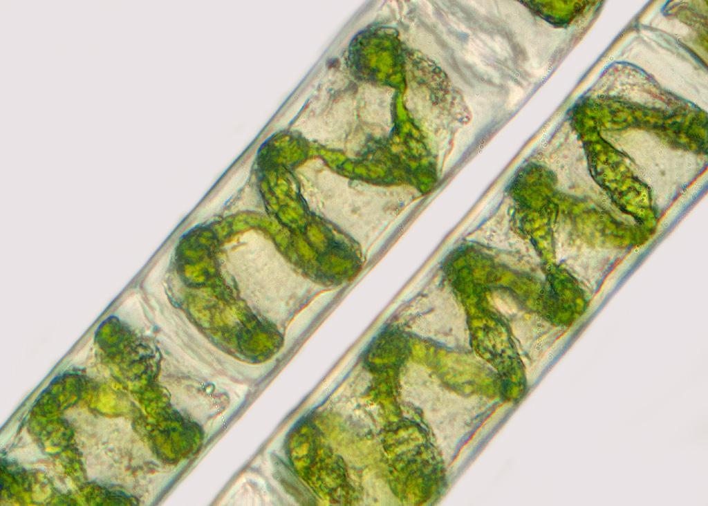 картинка улотриксовые водоросли любого