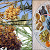 Dates Fruit Is Considered As The Number One Fruit To Fight Off Heart Problems And Much More