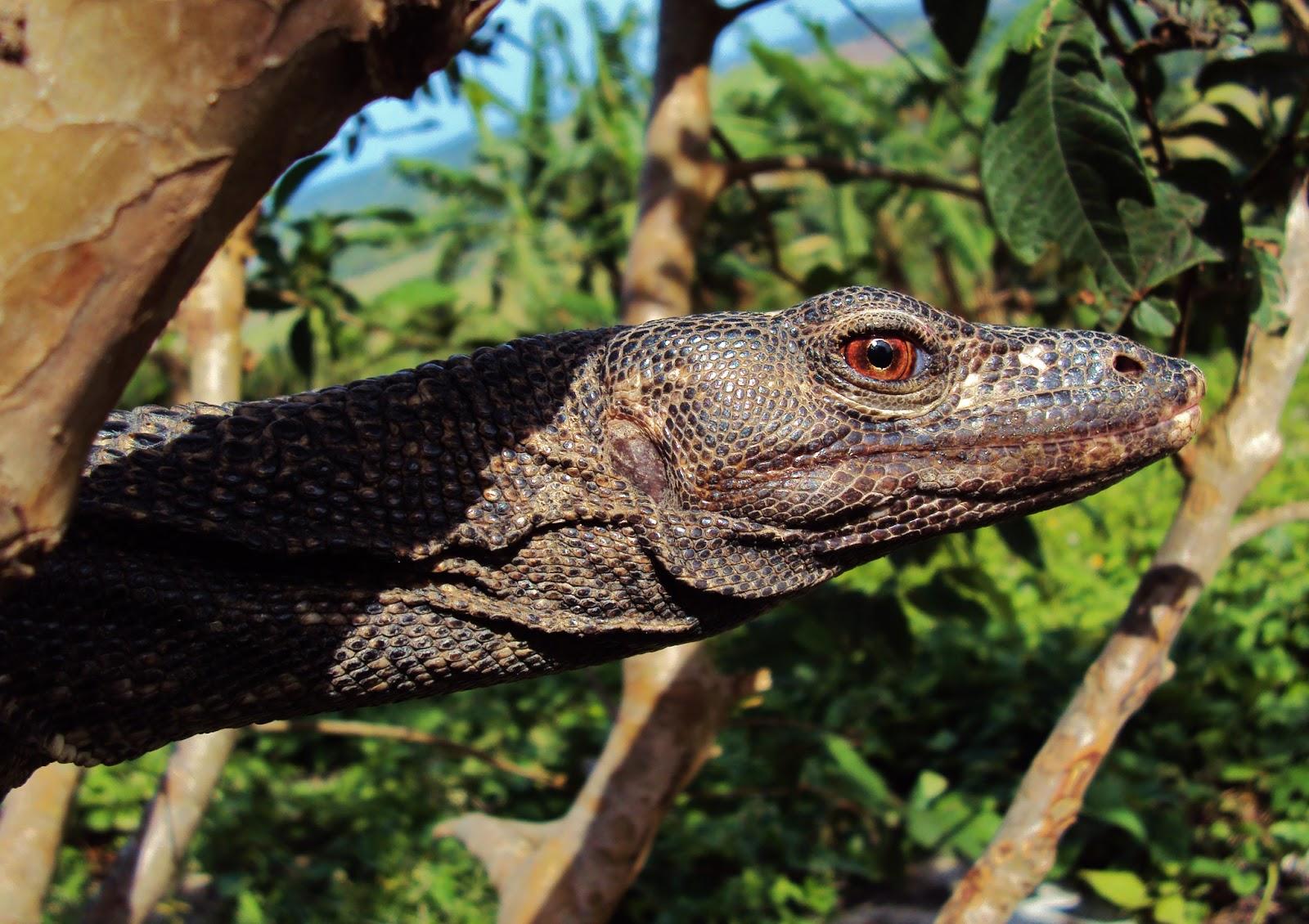 Biodiversity Capiz: Water Monitor Lizard