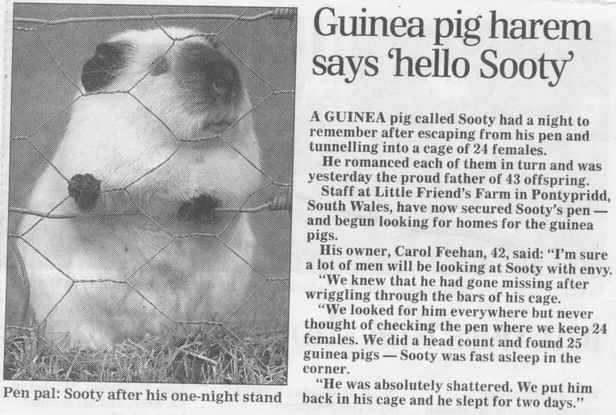 how to catch a guinea pig