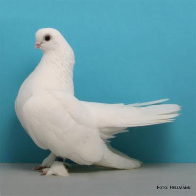 kasan pigeons
