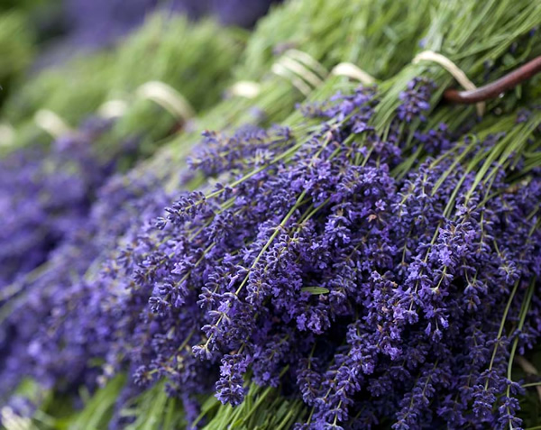 Preparing lavender