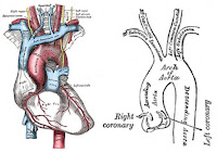 Aorta Ascendens