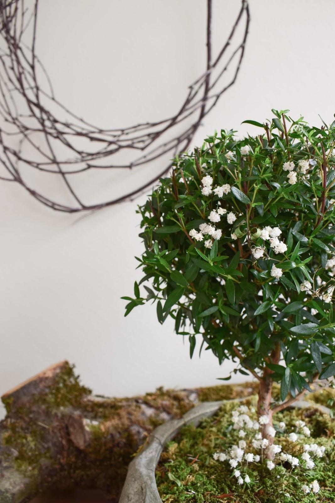 Naturdeko mit Topfpflanze: Verschönerung Übertopf Zimmerpflanze mit Moos Eukalyptus Schleierkraut. Myrte Dekoidee Deko Dekoration Übertopf natürlich dekorieren einfach selbermachen schleierkraut