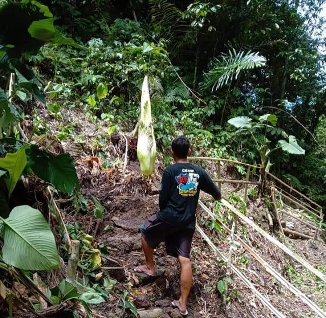 Bunga Bangkai Raksasa Ditemukan di Bandarbaru