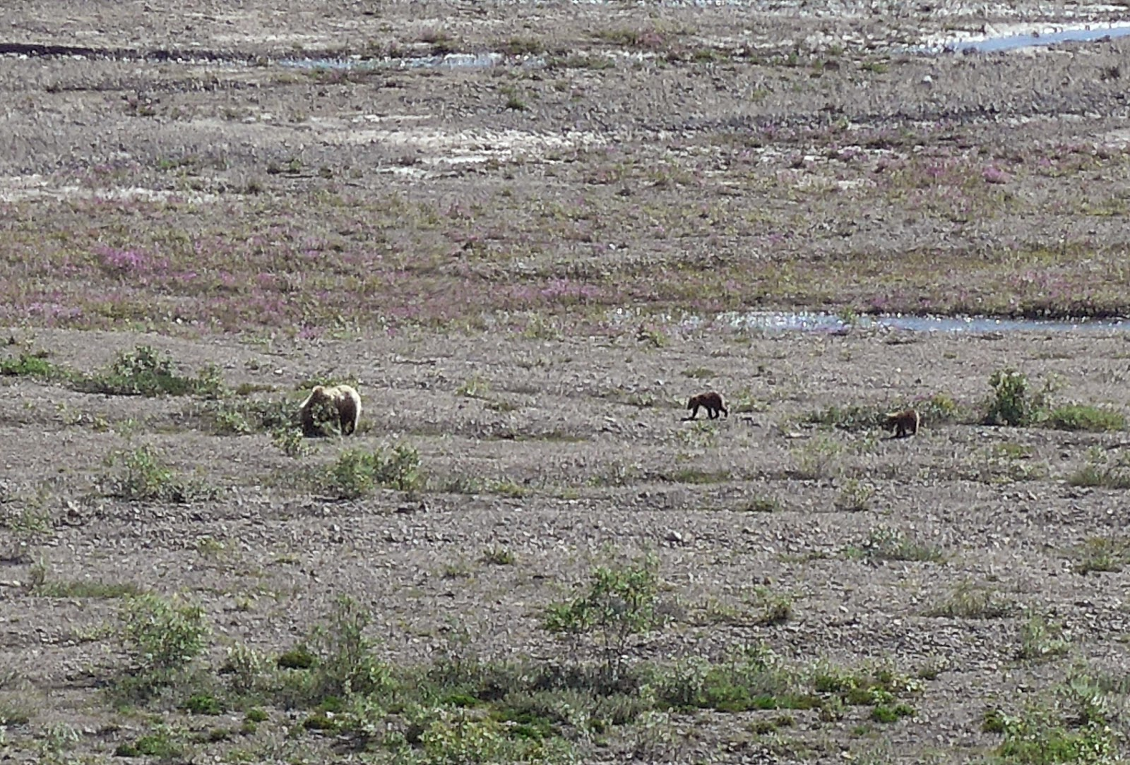 Mama Grizzly ( Brown Bear ) with her two Cubs