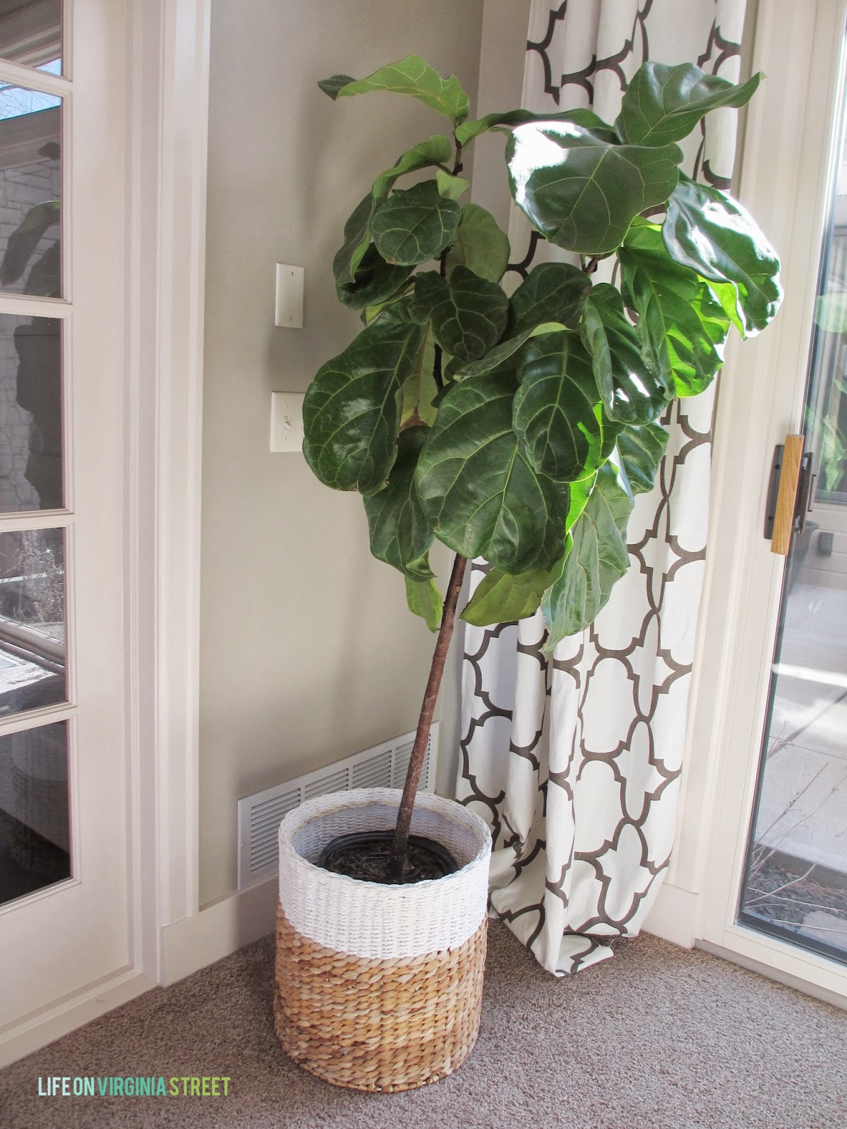 Fiddle Leaf Fig A Few Updates