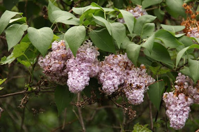 last year's feral lilacs