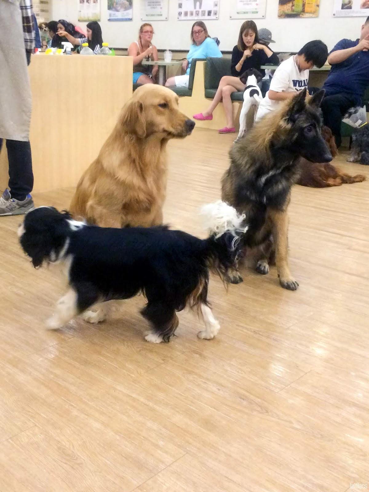 Seoul, Korea - Summer Study Abroad 2014 - Bauhaus Dog Cafe big dogs