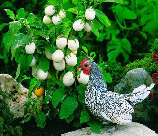 Tem Na Web - Planta que da ovos?