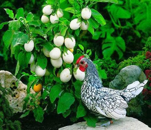 http://www.bioorbis.org/2014/02/planta-que-da-ovos.html