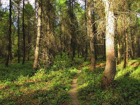 Iglasty las na Popowych Wierchach.