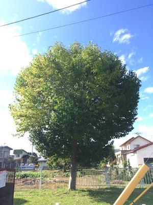 更に大きく一層葉を増やしたこぶしの木