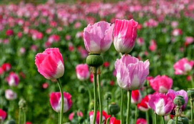 http://danahauses.blogspot.com/2016/12/dibalik-pesona-keindahan-bunga-opium.html