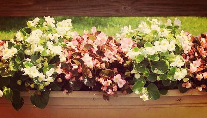 Begonias tuberosas