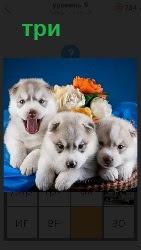 в корзине находятся три белых щенка
