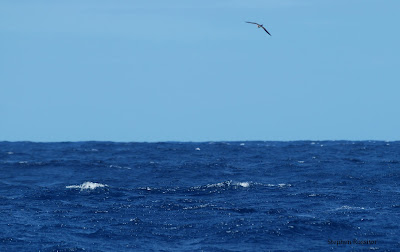 Hawaiian Petrel off Oregon by Stephen Rossiter