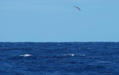 Hawaiian Petrel off Oregon by Stephen Rossiter