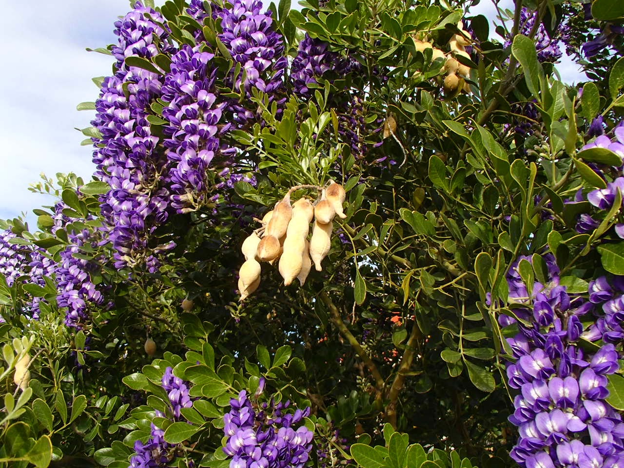 Xtremehorticulture Of The Desert Starting Texas Mountain Laurel From Seed