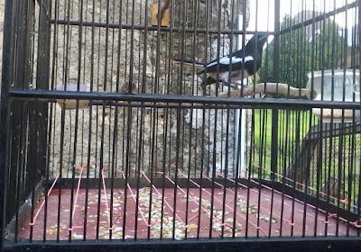 Kali ini kami akan memperlihatkan tips wacana burung kacer yang sering main dibawah Penyebab Burung Kacer Ngelantai Dan Cara Penanganannya