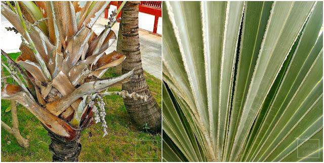 Chiński ogród botaniczny, tropikalny ogród, egzotyczne rośliny użytkowe i owocowe, Hainan, zieleń miejska w tropikalnych południowych Chinach. Ciekawe rośliny owocowe, karambola, palmy, sapodila, wanilia, chlebowiec, czapetka, noni, tamaryndowiec, płomień afryki. Jak wyglądają tropikalne Chiny?