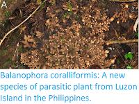 http://sciencythoughts.blogspot.co.uk/2015/06/balanophora-coralliformis-new-species.html