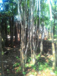 Kami menjual gambar poto pohon pelindung jakaranda dengan harga paling murah dan kami harga yang kami tawarkan bebas ongkos kirim