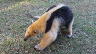 El animal permanecerá en cuarentena hasta llegar a su óptimo estado de salud. Posteriormente quedará en una Reserva de Fauna Silvestre.