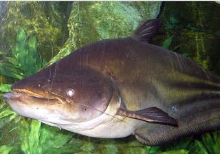 ikan terbesar di kalimantan, ikan monster dari sungai pedalaman kalimantan