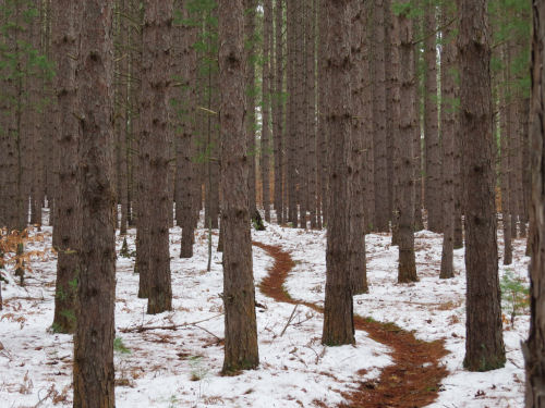 winding trail in pines